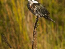 Martín pescador mediano, Amazon kingfisher