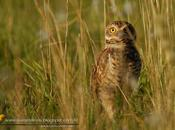 Lechucita vizcachera (Burrowing Owl)