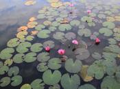 Donde loto tiene raíces
