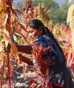 "Derecho a seguridad alimentaria, informe ""Azúcar roja, desiertos verdes"""
