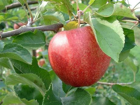 Pomme d'automne por OliBac.