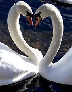 La caricia de los cisnes