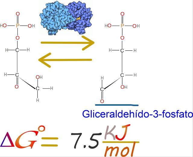 5to paso: Triosa fosfato isomerasa