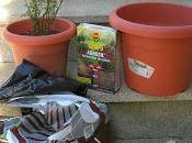 Cómo trasplantar rosal maceta. Procedimiento útil para plantones minis.