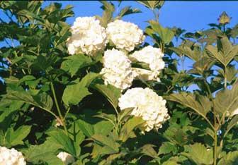 Bola de nieve arbusto paperblog for Fiori bianchi profumati a grappolo