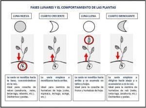 fases lunares 300x221 Las fases lunares y el comportamiento de las plantas