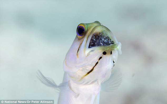 bocón de cabeza amarilla (Opistognathus aurifrons) incubando en su boca