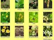 Flores bach