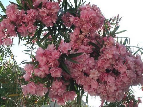 adelfa-rosa-en-plena-floración