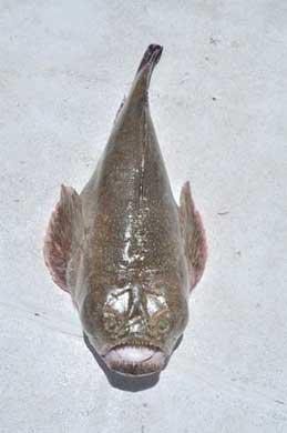 astrónomo del Pacífico (Astroscopus zephyreus) pescado en Cabo San Lucas
