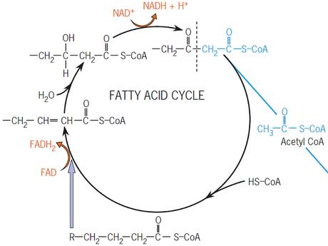 """El ciclo de los ácidos grasos """"para quemar grasa, se necesita agua"""""""