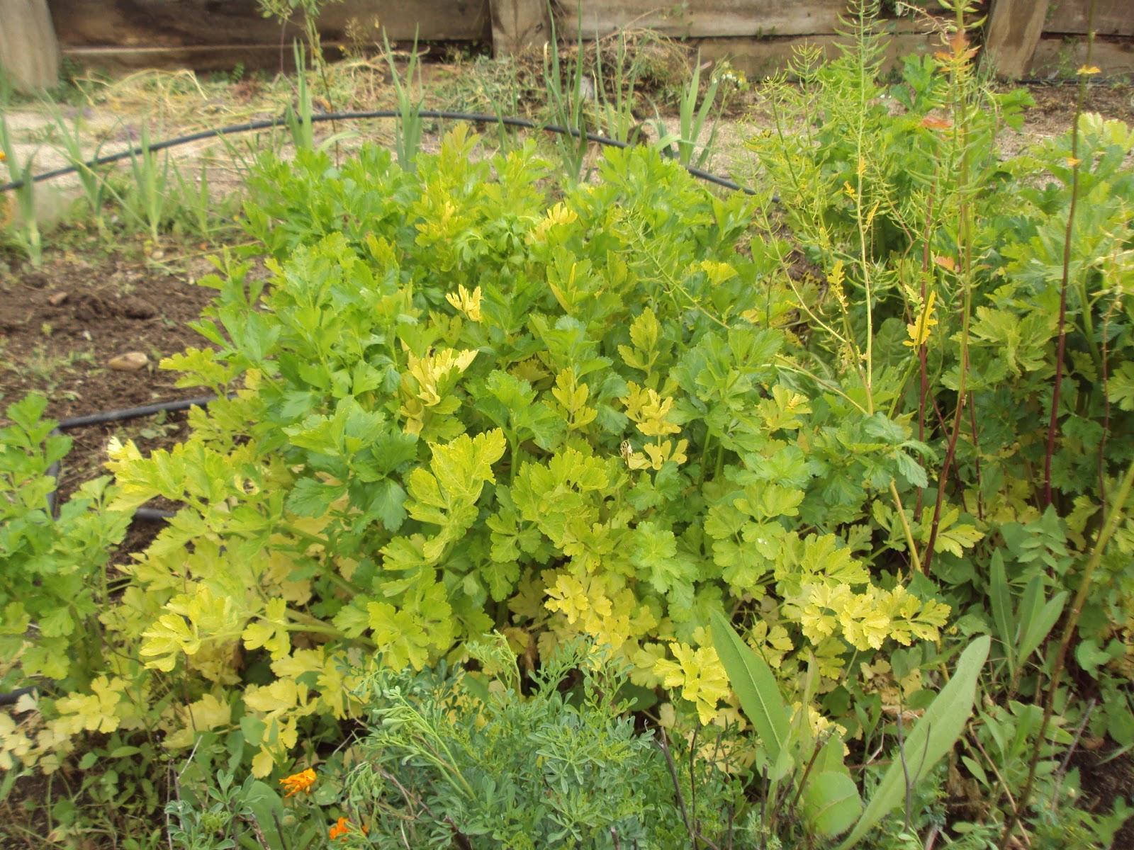 Gu a de plantas arom ticas culinarias y medicinales en el for Asociacion de plantas en el huerto
