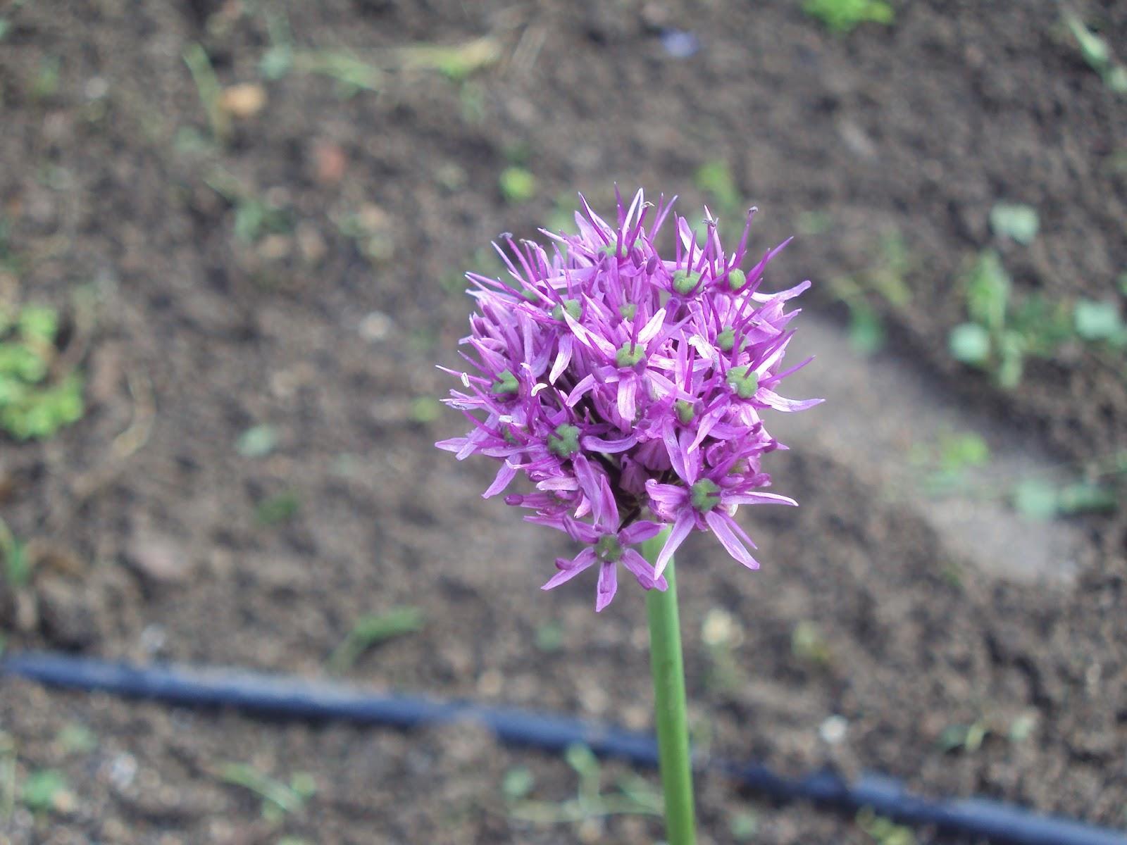 Gu a de plantas arom ticas culinarias y medicinales en el for Jardinera plantas aromaticas