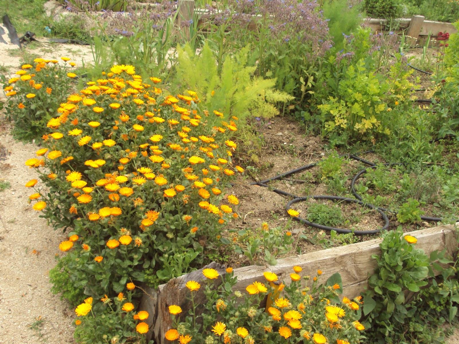 Gu a de plantas arom ticas culinarias y medicinales en el - Huerto de plantas aromaticas ...