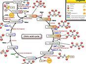 Resumen ciclo Krebs función energética