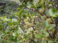 Flora: El aderno o saquitero