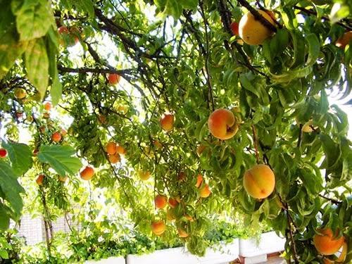 Arboles frutales en el huerto paperblog for Arboles frutales