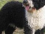 Razas perros: Perro agua español