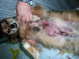 Ori n no ten a piel su cuerpo eran garrapatas paperblog - Pulgas en casa sin animales ...