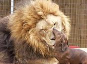 increíble amistad entre perro salchicha león. fotos.