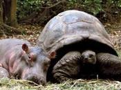 Tortuga gigante años edad adopta bebe hipopotamo
