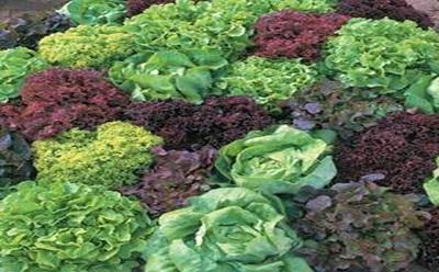 Ensaladas conoce las variedades de lechuga paperblog - Diferentes ensaladas de lechuga ...