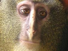 Conozca mono mirada humana