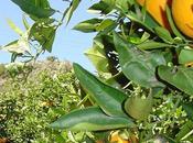 Marruecos planea triplicar exportación cítricos
