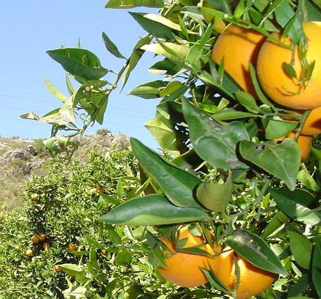 cítricos de Marruecos