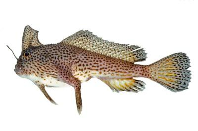 Brachionichthys Hirsutus. Fuente: Australian National Fish Collection, CSIRO.
