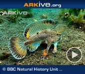ARKive video - Spotted handfish 'walking' on sea floor