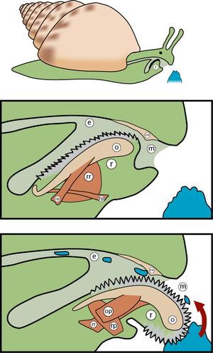 Alimentación de los moluscos por macrofagia