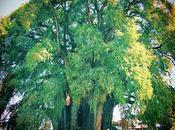 Árbol Tule