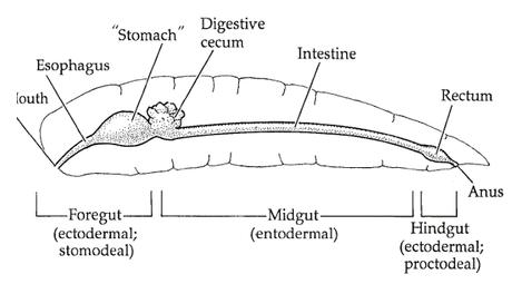 Digestión en artrópodos