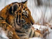 Tigre siberiano hábitat
