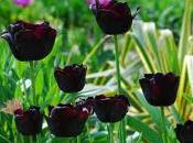Cómo plantar bulbos tulipán