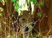 Yala leopardos, bishiu bishiu: ¡gatito