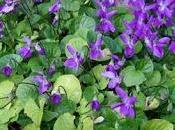 Cómo sembrar semillas violetas olor