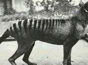 Tigre Tasmania