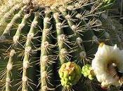 Cactus murciélagos