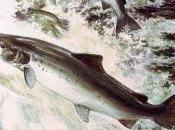 estrategia salmón.