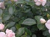 Tiempo rosas