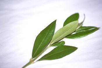 Beneficios para la salud del té de la hoja de olivo- Dieta mediterránea