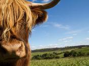 Friday Pic: Escocia vacas