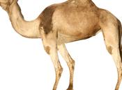 camello inmóvil