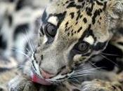 zoólogos Taiwan declarado extinto leopardo nublado.
