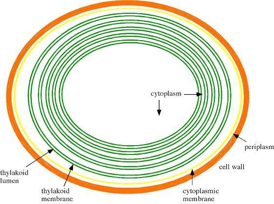 ... derivadas de la bacteria… repito nuevamente DOS MEMBRANAS INTERNAS