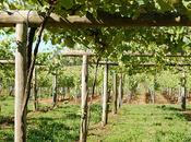 Rías Baixas prevé cosecha abundante vendimia tardía