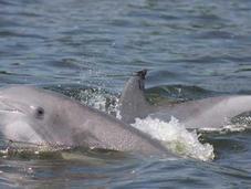 Encontrada causa mortandad delfines EE.UU