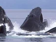 Ballenas jorobadas asustan kayakistas (vídeo)